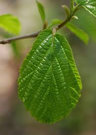 THE THERAPEUTIC USES OF HAMAMELIS VIRGINICA