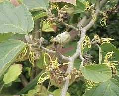 THE DISTILLED EXTRACT OF HAMAMELIS