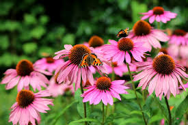 ECHINACEA IN FEVERS