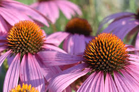 ECHINACEA IN GERMANY