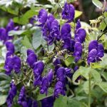 ACONITE IN A CHRONIC CASE